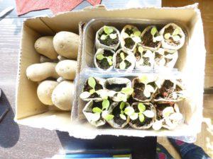 Im Karton geht es für Katoffel, Erbsen und Salat vom Balkon in den Garten