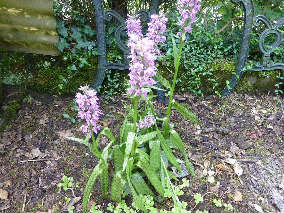 Wilde Orchideen Im Garten Biokleingarten