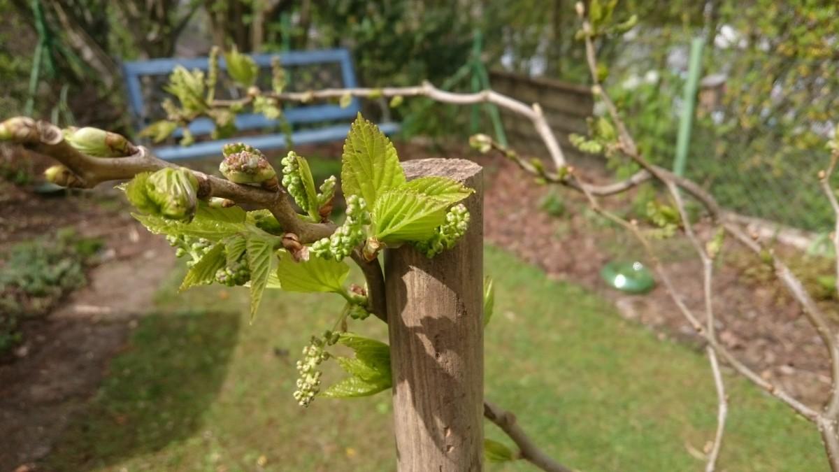 Knospen vom Maulbeerbaum