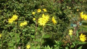 Viele Topinamburblüten in der Sonne im Garten