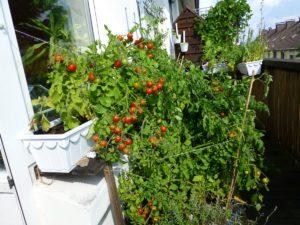 Tomaten auf einem Balkon