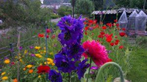 Rittersporn und Mohnblumen