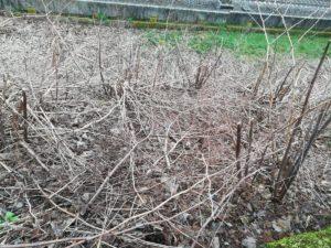 Japanischer Flügelnöterich verdrängt alle anderen Pflanzen