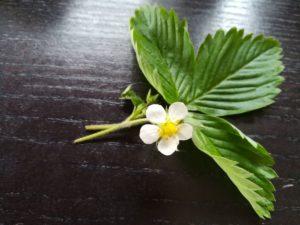 Walderdbeerblätter und Blüte