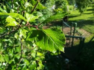 Pflaumenbaumblätter