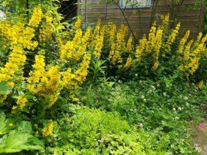 Goldfelberich und Wildpflanzen